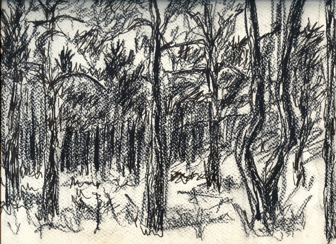 A pencil drawing of pines trees in forest.